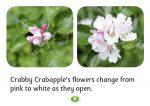 Crabapple trees, Crabby Crabapple, Hello Trees books, Hello Trees, Books about trees for children, Kate Bretherton