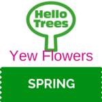Yew Flowers
