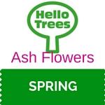 Ash tree flowers