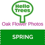 Oak Flower Photos