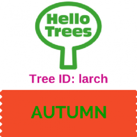 Tree ID: larch