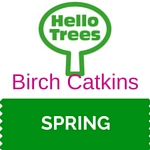 New birch catkins in spring