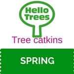 Tree catkins
