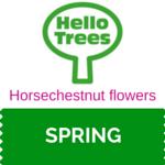 Horsechestnut flowers