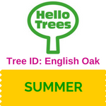 English Oak Tree ID