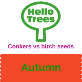 Conkers vs birch seeds