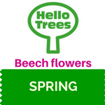 Beech Tree Flowers